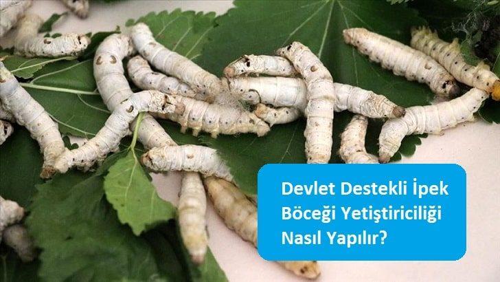 Devlet Destekli İpek Böceği Yetiştiriciliği Nasıl Yapılır?